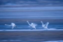 【美天棋牌】天鹅从西伯利亚成群飞到山东威海小渔村
