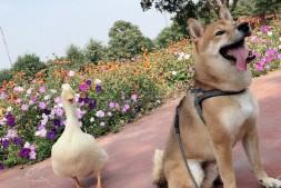 【美天棋牌】王珞丹帮同事发布寻鸭启示 可惜宠物鸭已被食用